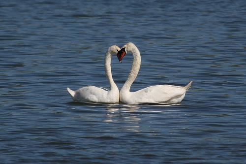 swan heart couple