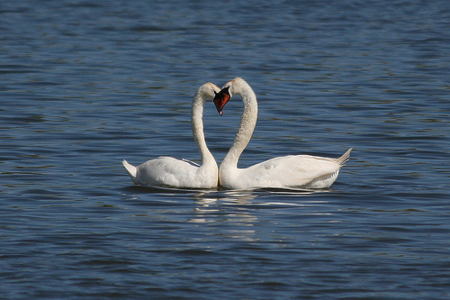 swan heart couple